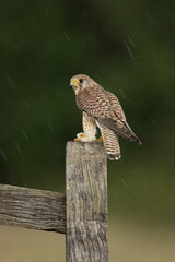 Wall Mural - Female Kestrel perched on a fence post with a green background in the rain.