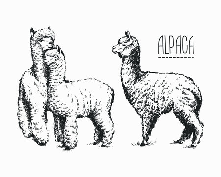 Set of sketches of llamas in graphic style, from hand drawing image.