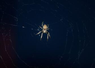 Pająk na pajęczynie - fototapety na wymiar