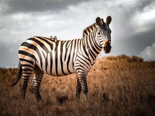Papiers peints Zebra Portrait Zèbre Tanzanie Afrique