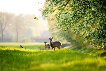 Poster Cerf Rehe in der Morgensonne am Steinhorster Becken, Wilde Tiere, Wildlife, Delbrück, Paderborn, Deutschland