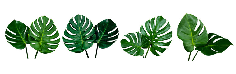 Stores à enrouleur Fleuriste collection of green monstera tropical plant leaf on white background for design elements, Flat lay