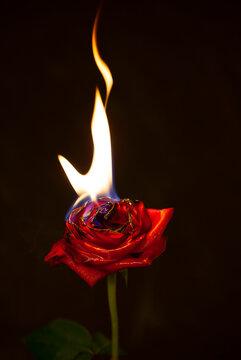 Burning Red Rose on black background.