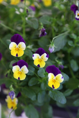 Papiers peints Pansies Beautiful purple pansy flower surrounded by green leaves