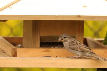 Fototapeta dziki  ptak  w  karmniku  zjada  wsypane  ziarno obraz