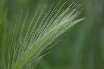 zielony  kłos  na  spokojnym  tle
