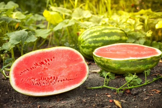 Watermelons and halves watermelons