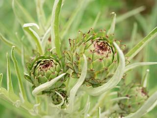 Freschissimi fiori di carciofo nell'orto a chilometro zero