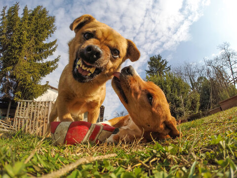 Fisheye shot of two dogs. The picture is taken from the bottom to the top. One dog has a friendly vibe and the other an aggressive one. Concept for angry dog.