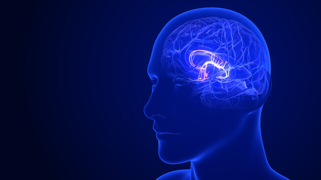 Brain Anatomy - Limbic System. 3d rendering