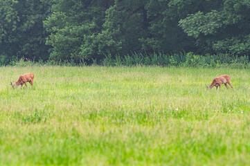 dzikie sarny w Parku miejskim na Wyspie Bolko w Opolu