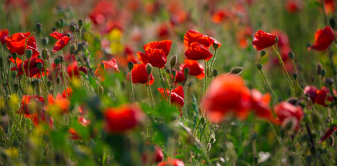 Beautiful and colorful poppy field