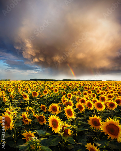 Wall mural Bright yellow sunflowers glow in the sunlight. Blooming field closeup.