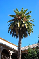 Palm tree in a courtyard, Cordoba, Andalusia, Spain.
