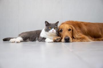 Tuinposter Hond British Shorthair and Golden Retriever
