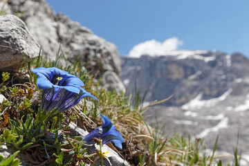 Blue gentian, gentiana clusii, in mountains of Sesto Dolomites, South Tyrol, Alps, Italy