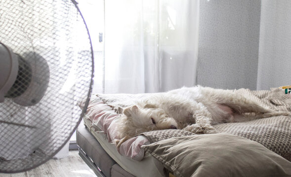 A white dog sleeps on the master bed in the cool wind from the fan. Hot summer and Pets.