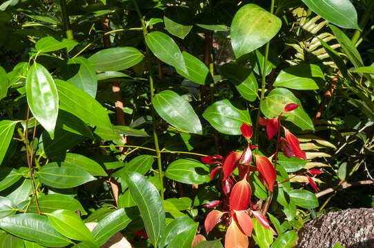 Green and red young leaves of Cinnamon (Cinnamomum verum)