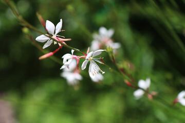 Printed kitchen splashbacks Orchid Fiori di Gaura o pianta delle orchidee, dettagli in giardino in un mattino d'estate