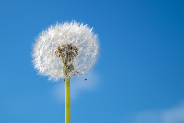 Canvas Prints Dandelion dandelion on a background of blue sky and small clouds