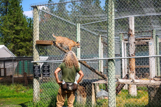 A zoologist works with a lynx in a cage at the Cat Tails Zoological Park near Spokane, Washington.