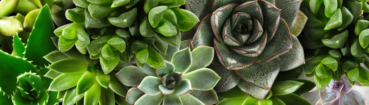 Different beautiful succulents as background, top view. Banner design