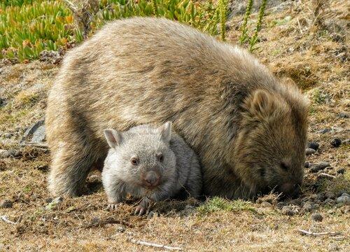 Mother and baby wombat joey in Tasmania Australia