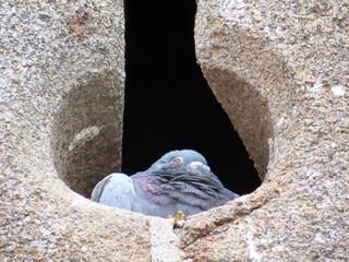 Pigeon dans meurtrière Mont St Michel