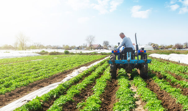 A farmer on a tractor loosens the soil and removes weeds on a potato plantation. Improving air access and water holding capacity. Crop care. Farming agricultural industry. Small farming