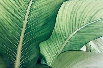 Wall Mural - Abstract tropical green leaves pattern, lush foliage houseplant Dumb cane or Dieffenbachia the tropic plant..