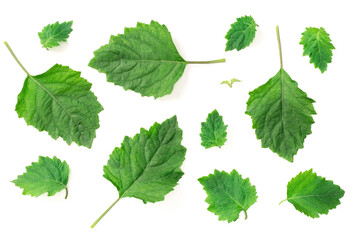collection of fresh Patchouli (Pogostemon cablin) leaves isolated on the white background, top view