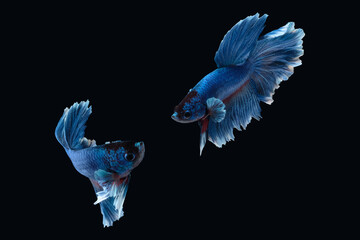 Two dancing of betta siamese fighting fish (Halfmoon Rosetail in white blue color) isolated on black background