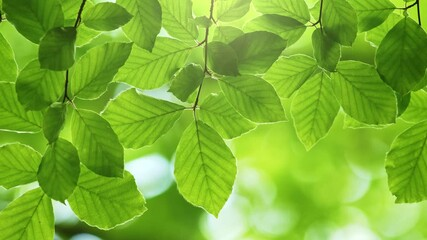 Wall Mural - Zoom out shot of fresh green leaves on a tree sway in the wind. Elegant green background of green leaves and bokeh