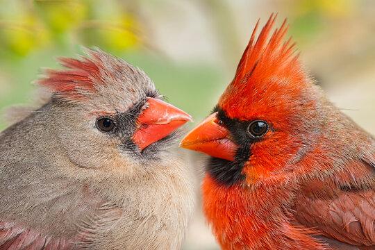 Northern Cardinal Pair Macro Image