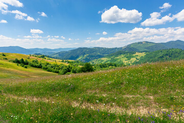 Wall Mural - summer scenery of mountainous countryside. alpine hay fields with wild herbs on rolling hills at high noon. forested mountain ridge in the distance beneath a blue sky with fluffy clouds. nature beauty