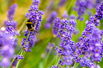 Bee on lavender on a summer's day