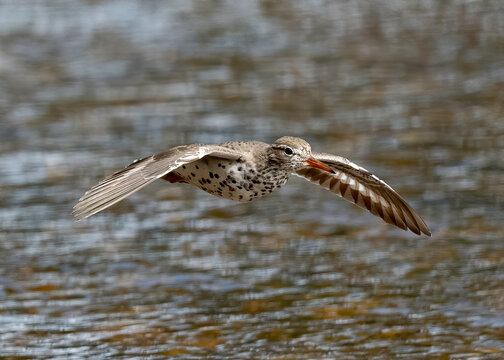 Spotted Sandpiper in flight (Actitis macularius), Yellowstone National Park, USA