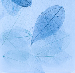 Wall Mural - Macro leaves background texture blue color. Transparent skeleton leaves, colorful beautiful image of nature, leaves on ice
