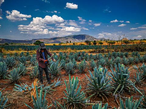 tequila fields