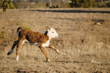 Wall Mural - Baby Hereford calf running through rural field.