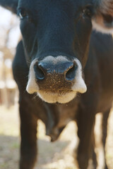 Wall Mural - Cute black calf with muzzle close up on the farm
