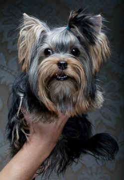 Cute Yorkshire Terrier Puppy close up picture