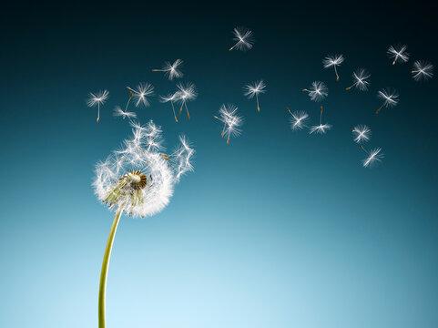 Dandelion seeds blowing on blue background
