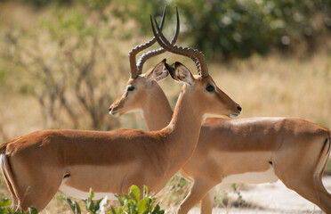 Two antelope with horns crossing