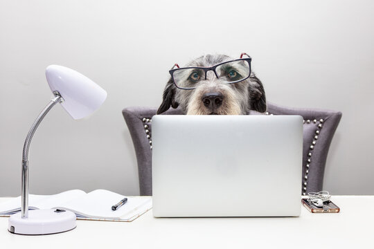 Dog Working on Computer From Home
