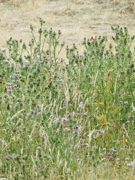 Rustic looking field full of wild thistle blooms and native grass
