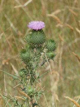Large blooming thistle in a wild meadow with native grasses