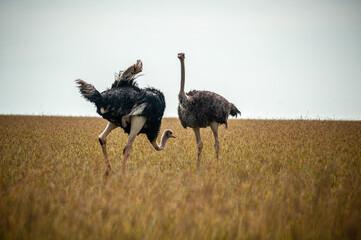 Wall Murals Ostrich Wild ostriches walking on the yellow grass