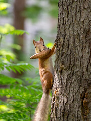 Red squirrel climbs up the trunk of a pine tree. The squirrel has a fir cone in its teeth. Summer forest background with a squirrel.