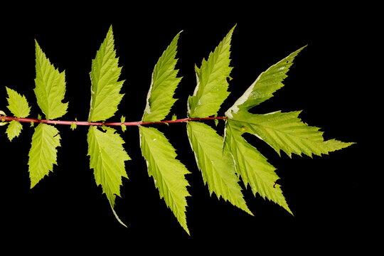 Meadowsweet (Filipendula ulmaria). Leaf Closeup